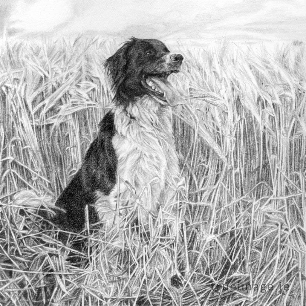 collie portrait drawing
