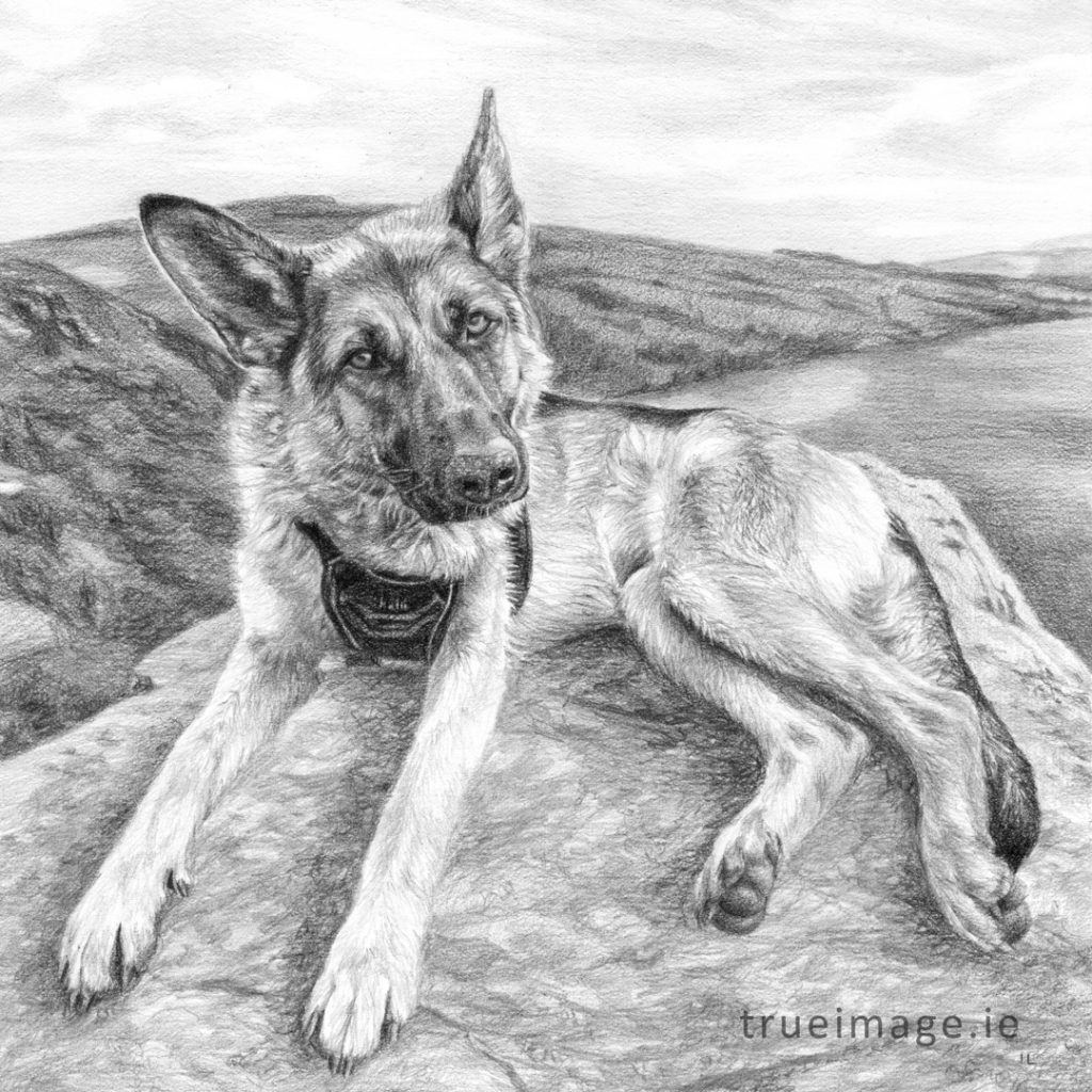 german shepherd dog portrait drawing